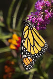 Monarch Butterfly on Butterfly Bush royalty free stock images