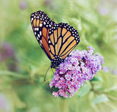 Monarch butterfly on butterfly bush flowers Stock Images