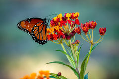 Monarch Butterfly on a Butterfly Bush. Monarch Butterfly resting on a red and yellow bloom of the butterfly bush. Texas Hill Country butterfly migration has stock photography