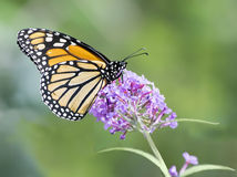 Monarch Butterfly on Butterly Bush Flower Stock Photos