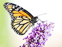 Monarch Butterfly on Butterfly Bush Flower Royalty Free Stock Photography