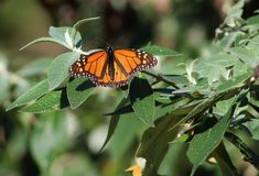 Monarch Butterfly. California, circa February 2015 - photo of a Monarch Butterfly resting on the branch of a bush stock photography