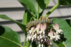 Monarch Butterfly Caterpilar on Milkweed. A monarch butterfly caterpillar feeding on common milkweed flowers in a garden in Littlefork, MN stock photos