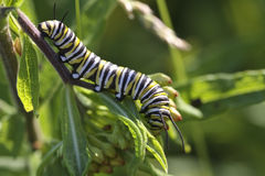 Monarch Butterfly Caterpillar. Close-up of Monarch Butterfly caterpillar (Danaus plexippus) feeding on milkweed stock photos