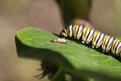 Monarch Butterfly Caterpillar. Large on and small one stock image