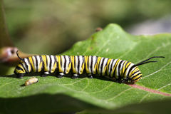 Monarch Butterfly Caterpillar. S two of different sizes royalty free stock photo