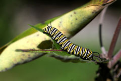 Monarch Butterfly Caterpillar. In sun on milkweed plant stock photos