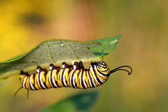 Monarch Butterfly Caterpillar. Under milkweed plant leaf in sun stock photos