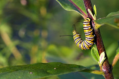 Monarch Butterfly Caterpillar. On milkweed in morning sun royalty free stock image