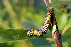 Monarch Butterfly Caterpillar. On milkweed plant leaf in morning sun royalty free stock photos