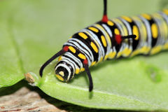 Monarch butterfly caterpillar Royalty Free Stock Images