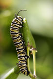 Monarch Butterfly Caterpillar. Close up On Grass stock photo