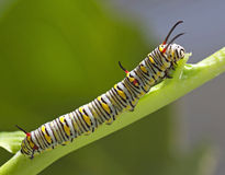 Monarch Butterfly Caterpillar. On Milkweed royalty free stock image