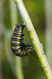 Monarch butterfly caterpillar Royalty Free Stock Photos