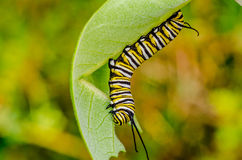 Monarch Butterfly Caterpillar. Crawling along a milkweed lead stock photos