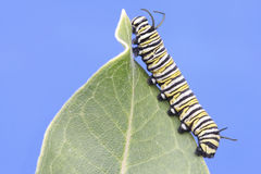 Monarch Butterfly Caterpillar (danaus plexippus). On a milkweed leaf stock images