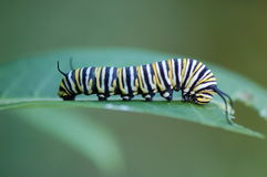 Monarch Butterfly Caterpillar, Danaus plexippus Stock Image