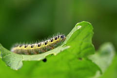 Monarch butterfly caterpillar Stock Photo