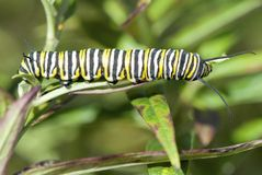Monarch Butterfly Caterpillar, Danaus plexippus. A monarch butterfly caterpillar eating a milkweed leaf Stock Images