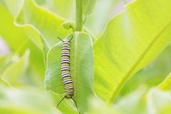 Monarch Butterfly Caterpillar Eating Leaf. Monarch butterfly caterpillar sitting vertically on a milkweed leaf as it eats it stock photography