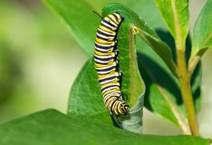 Monarch butterfly caterpillar eating milkweed. Close up of a black and yellow monarch butterfly caterpillar eats a leaf of common milkweed, Asclepias syriaca Royalty Free Stock Photography