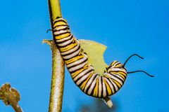 Monarch Butterfly Caterpillar eating milkweed. A close up of a 5th instar Monarch Caterpillar eating milkweed in a field in New England royalty free stock photo