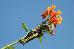 Monarch butterfly caterpillar feeding. On milkweed plant on blossom stock photography