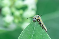 Monarch butterfly caterpillar on leaf stock photos