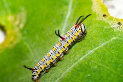 Monarch butterfly caterpillar on leaf royalty free stock photos