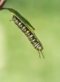 Monarch Butterfly Caterpillar On Milkweed Stock Photo