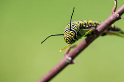 Monarch Butterfly Caterpillar On Milkweed royalty free stock photography