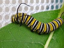 Monarch Butterfly Caterpillar on Milkweed Leaf Royalty Free Stock Images