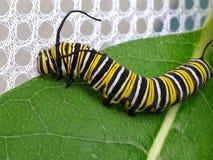 Monarch Butterfly Caterpillar on Milkweed Leaf. Monarch larva (Danaus plexippus) eating milkweed in late summer royalty free stock images