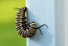 Monarch butterfly caterpillar preparing to pupate. The caterpillar of a monarch butterfly hangs head down in a J position as it prepares to form a chrysalis as stock photos