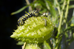 Monarch butterfly caterpillar Royalty Free Stock Photography