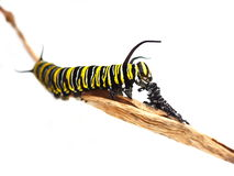 Monarch butterfly caterpillar. On white background Stock Photo