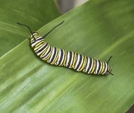 Monarch Butterfly Caterpillar. Yellow, black, and white striped monarch butterfly caterpillar crawling on a green leaf Royalty Free Stock Photography