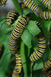 Monarch Butterfly Caterpillars. On a swan plant Stock Images