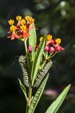 Monarch Butterfly Caterpillars. Two Monarch butterfly caterpillars feeding on a milkweed plant Royalty Free Stock Photos