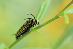 Monarch butterfly catterpilar. Climbing on to the plant Royalty Free Stock Images