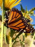 Monarch butterfly. Caught in the clutches of a praying mantis royalty free stock photos
