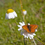 Monarch butterfly on chamomile Royalty Free Stock Image