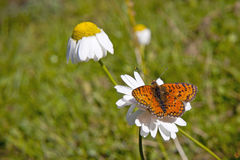 Monarch butterfly on chamomile Royalty Free Stock Photography
