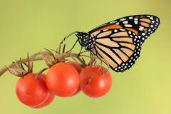 Monarch butterfly on cherry tomato. Monarch butterfly rests on cherry tomatos Royalty Free Stock Photos