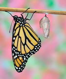 Monarch Butterfly and Chrysalis. A newly- hatched Monarch butterfly (Danaus plexippus) and his chrysalis Stock Photography