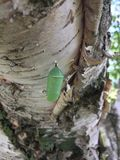 A monarch butterfly chrysalis attached to a branch of a birch tree in summer stock image