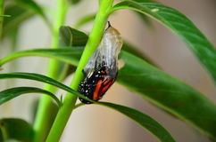 Monarch Butterfly Chrysalis. Amazing Monarch Butterfly chrysalis emergence from cocoon pupa on Swan Plant circle of life cycle stock photos