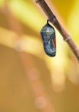 Monarch Butterfly Chrysalis. Getting ready to emerge on milkweed branch. Copy space royalty free stock image