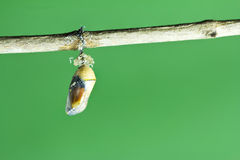 Monarch butterfly chrysalis. On green background royalty free stock image