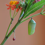 Monarch Butterfly Chrysalis and milkweed plant Stock Image